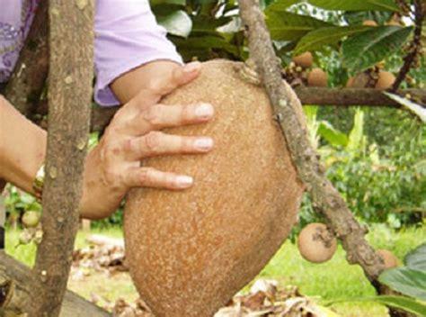 Bibit Buah Kiwi Dataran Rendah tanaman mamey sapote jual tanaman hias