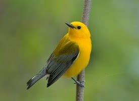prothonotary warbler identification all about birds
