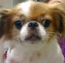 pomeranian and allergies pomeranian skin problems breeds picture