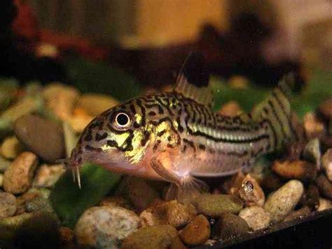 Catfish Bottom Feeder catfish are the bottom feeders