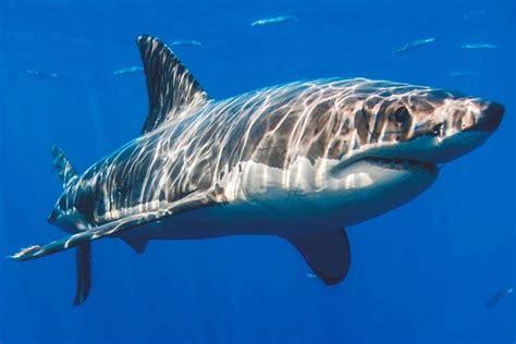 imagenes de lutos blancos 191 qu 233 comen los tiburones