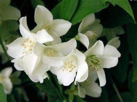 gelsomino fiori secchi gelsomino domande e risposte giardino
