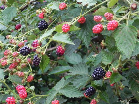 backyard berry plants arapaho blackberry 187 hedgerow farm