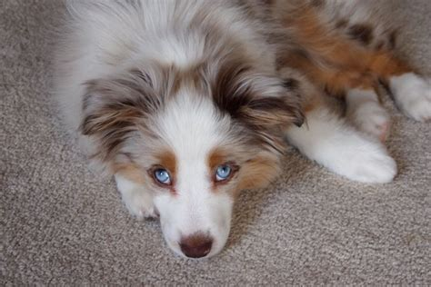 indiana adoption picture book australian shepherd puppies for sale in indiana