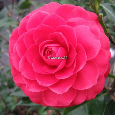 Black Camellia camellia x black lace tous les arbustes p 233 pini 232 res