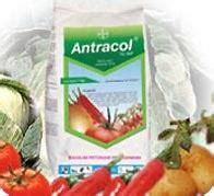 Fungisida Antracol tani baru antracol 70wp fungisida