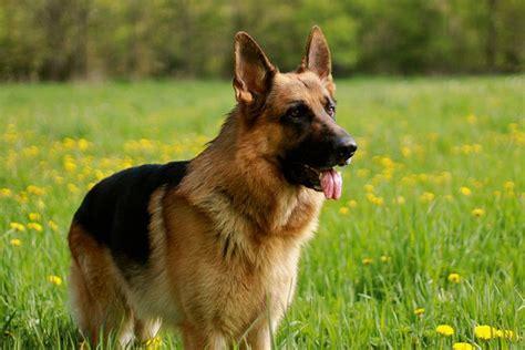 german shepherd expectancy average span of large german shepherd breeds picture
