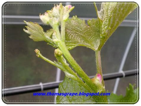 Bunga Anggur thomasgrape calon bunga