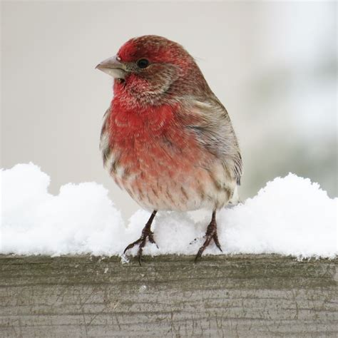 house finch facts house finch facts 28 images house finch decorah