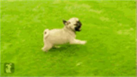 snl pug happy birthday gif happy birthday pug discover gifs