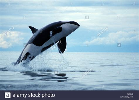 killer whale collection photo collection whale orcinus orca