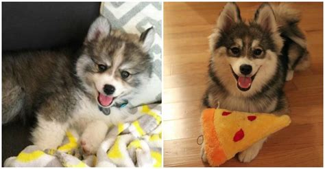 why do pomeranians cry norman the pomeranian husky mix one puppy that will melt your
