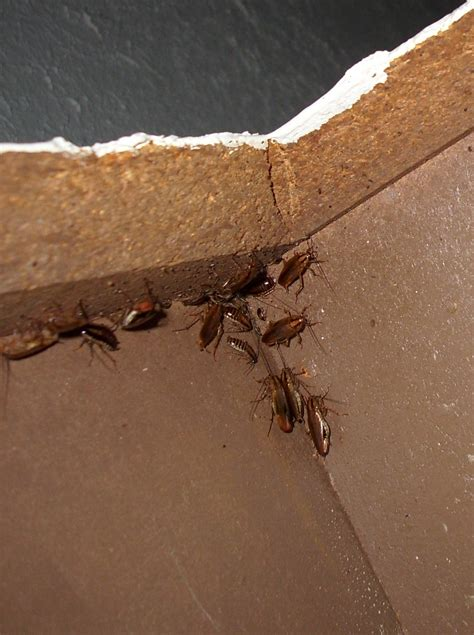 Kitchen Bugs Treatment Roaches In Cabinets 010 Swatteam Pest Services