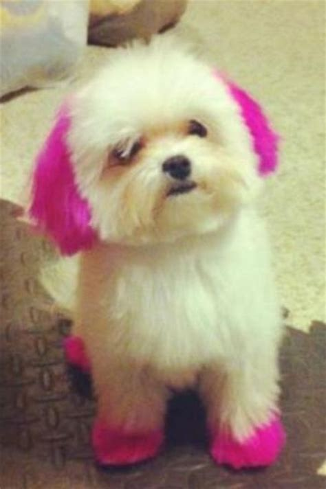 I Didnt Even Er Pet Pet Pet Product 6 by Maltese With Dyed Hair Pets Lost General
