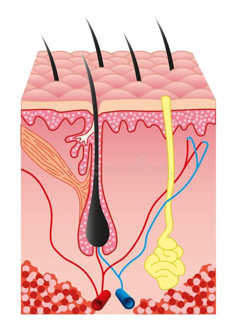 cross section human skin royalty free vector image human skin and hair folicle vector stock vector image 11131773