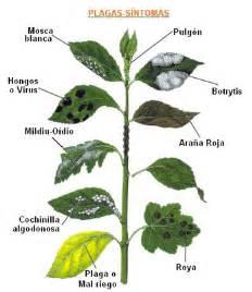 Money Tree Plant Diseases - plagas y enfermedades comunes en las plantas de interior