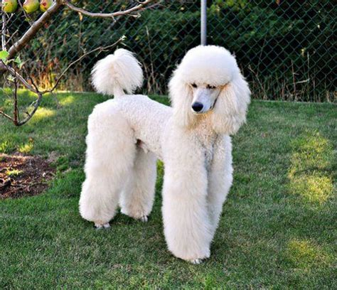 differenct cuts for poodles poodle top knot styles 1000 images about poodle grooming