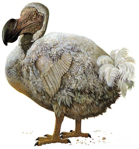 dodo bird photograph by photo researchers