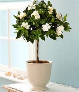 fragrant indoor plants fragrant house photo plant