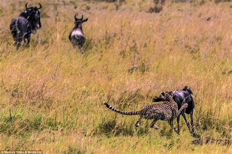 Turns Cheetah by Wildebeest Turns The Tables On Cheetah After A