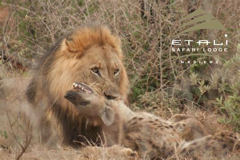 hyena vs vs hyena africa geographic
