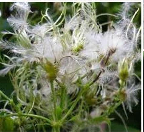 clematis fiore di bach le forme dei fiori di bach
