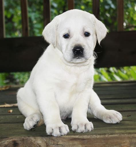 white labrador puppies for sale labrador puppies for sale breeds picture