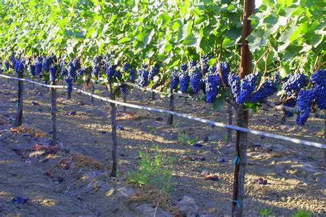 growing grapes on trellis pin photo grapevines growing on overhead trellises on