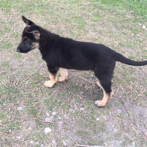 puppy finder houston view ad german shepherd puppy for sale houston