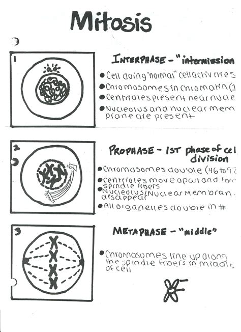 Mitosis And Meiosis Essay by Meiosis And Mitosis Essay