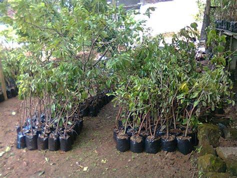Bibit Kelengkeng Bangkok kebun kelengkeng wonogiri