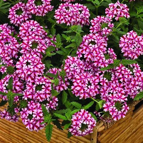 verbena fiore verbena ibrida piante annuali pianta di verbena ibrida