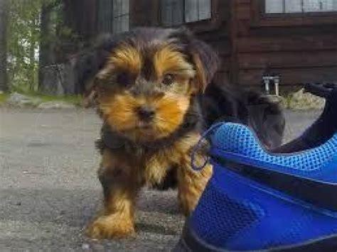 akc registered yorkie breeders adorable akc registered yorkie puppies blair claseek united states