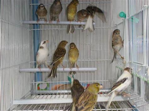 razas de canarios en venta wwwsemilleriaebjcom canarios venta