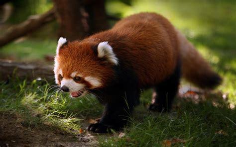 imagenes fondo de pantalla animales fondo de animales mapache rojo a resoluci 243 n 1440x900