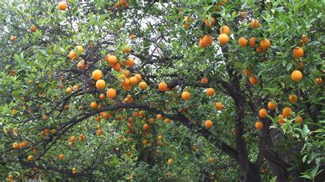 new year oranges with leaves 100 what time of year do you plant fruit trees how