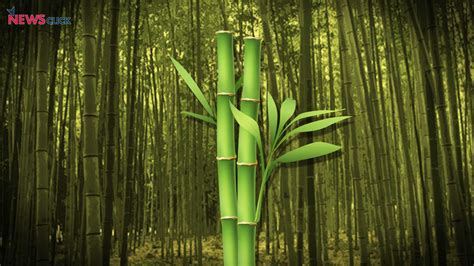 new law says bamboo growing on non forest lands is not tree newsclick
