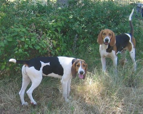 deer dogs for sale 1000 images about treeing walker coonhound on coon on canvas