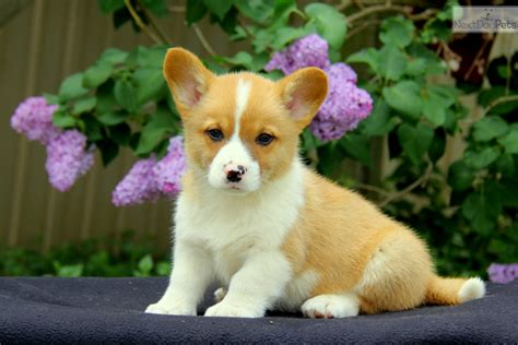 corgi puppies near me corgi pembroke puppy for sale near lancaster pennsylvania 84d38e31 fe41