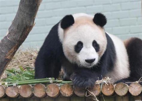 panda alimentazione scozia allo zoo di edimburgo si aspetta il primo cucciolo