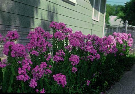 phlox full sun perennial landscaping pinterest