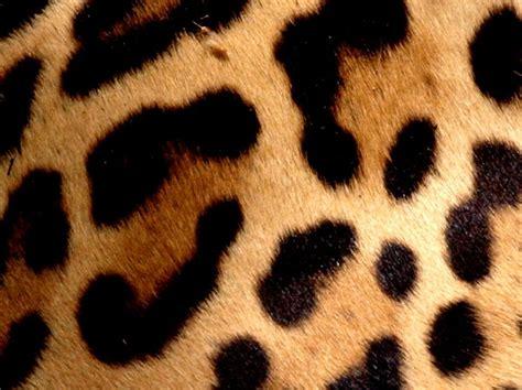 jaguar pattern house cat gratis stock foto s rgbstock gratis afbeeldingen
