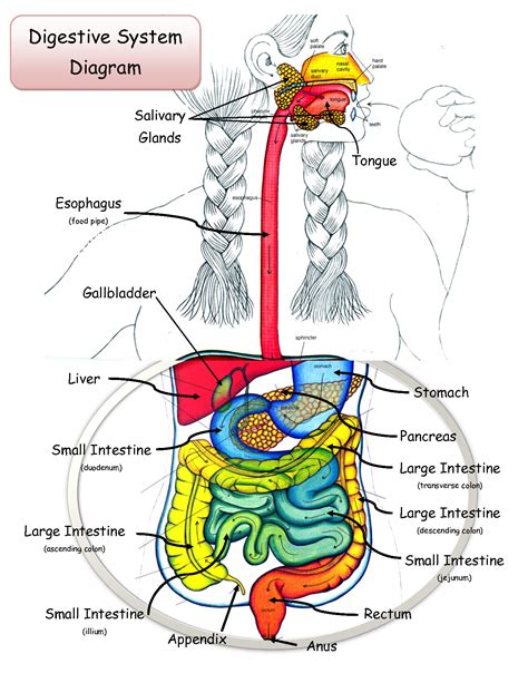 labeled digestive system diagram digestion in frog diabetes inc