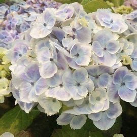 Wedding Ring Hydrangea by 17 Best Images About Flowers Hydrangeas Hortensia On