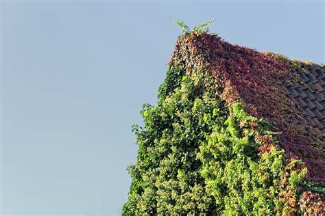Garten Pflanzen Beschneiden by Kletterhortensie Schneiden Verj 252 Ngungsschnitt Wirkt