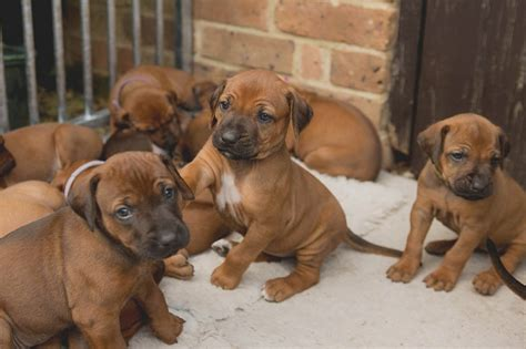 rhodesian ridgeback rescue puppies heealthy rhodesian ridgeback for adoption offer