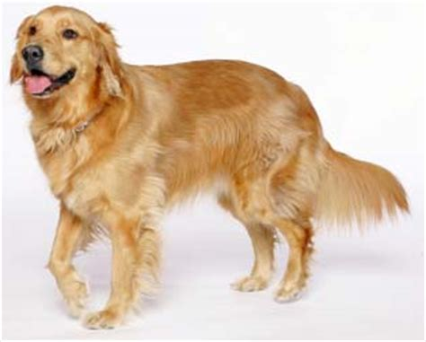 distichiasis golden retriever golden retriever eesti retriiverite t 245 u 252 hing