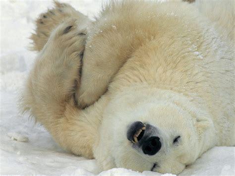 polar bear wallpaper zoom