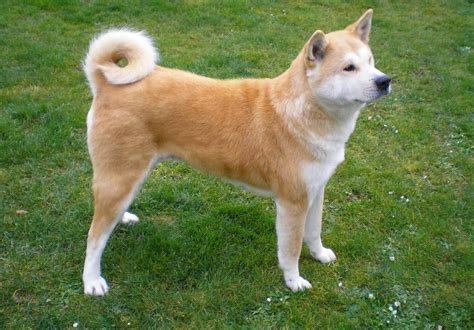 breeds with curly tails image gallery large dogs curly tails