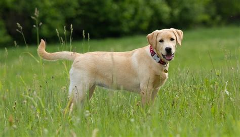 top dog breeds 35 most popular dog breeds in the uk top dog tips